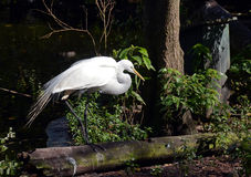Free Great Egret In The Florida Everglades Stock Image - 37407591