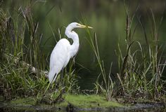 Free Great Egret In Wetland Swamp Habitat Ecosystem Stock Photography - 124498632