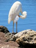 Great Egret. Islamorada Keys Florida Stock Image