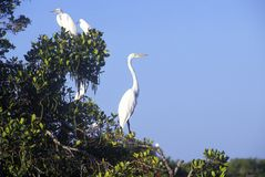 Great Egret, JN Ding Darling National Wildlife Refuge, Sanibel, CA Stock Images