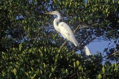 Great Egret in JN Ding Darling National Wildlife Refuge, Sanibel, CA Stock Images