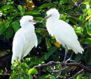 Great Egret juveniles (Ardea alba) Royalty Free Stock Photography