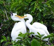 Great Egret juveniles (Ardea alba) Royalty Free Stock Photo