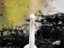 Great Egret at the Lake Stock Photo