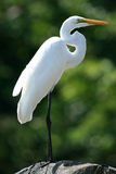 Great Egret at Lake Victoria - Uganda, Africa Royalty Free Stock Photography