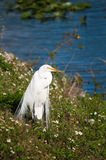 Great egret at the lakeside Royalty Free Stock Photos
