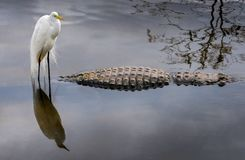 Great Egret. Landed on an alligator in the wetlands stock image