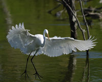 Great Egret Landing. On pond Stock Image