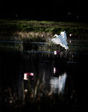 Great Egret landing on a crawfish trap in South Louisiana Royalty Free Stock Photos