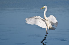Great Egret Landing In Shallow Water Stock Photos