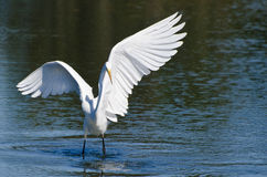 Great Egret Landing In Shallow Water Stock Image