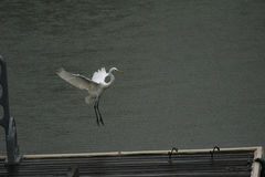 Great Egret Landing on Lake Dock Royalty Free Stock Images