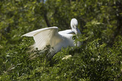Great egret landing with nesting material in its bill, Florida. Stock Photo