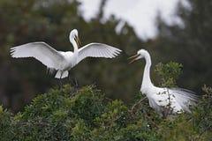 Free Great Egret Landing Next To Its Nesting Mate - Venice, Florida Stock Photo - 111564030