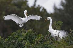 Great Egret landing next to its nesting mate - Venice, Florida stock photo
