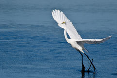 Great Egret Landing in Shallow Water Royalty Free Stock Photography