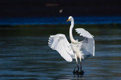 Great Egret Landing in Shallow Water Royalty Free Stock Photos