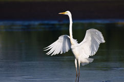 Great Egret Landing in Shallow Water Royalty Free Stock Images