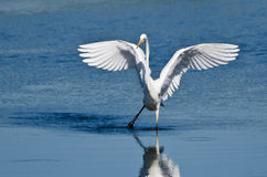 Great Egret Landing in Shallow Water Royalty Free Stock Image