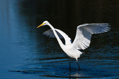 Great Egret Landing in Shallow Water Stock Photography