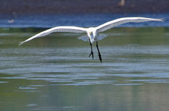 Great Egret Landing in Shallow Water Stock Photo