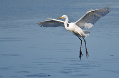 Great Egret Landing in Shallow Water Royalty Free Stock Photo