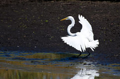 Great Egret Landing in Shallow Water Stock Images
