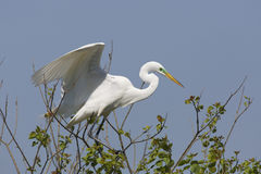 Great Egret Landing in a Tree Royalty Free Stock Image