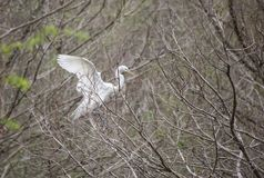 Great Egret landing in tree Royalty Free Stock Image