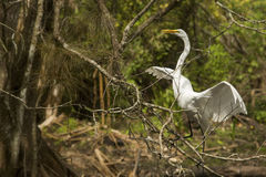 Great egret landing in a tree in the Florida Everglades. Stock Photo