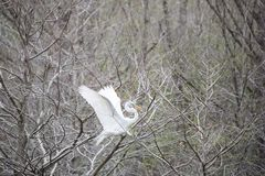 Great Egret landing in tree Royalty Free Stock Photo