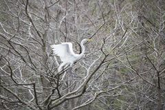 Great Egret landing in tree Royalty Free Stock Photography