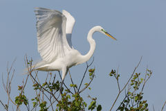 Great Egret Landing in a Treetop Royalty Free Stock Photo