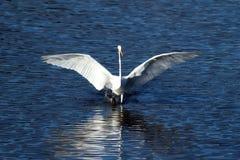 Great Egret landing on the water (Ardea modesta), Oregon, Emigrant lake, near Ashland, Taken 11/2013 stock photos
