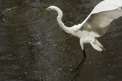 Great egret landing on the water with wings outstretched, Florid. Great egret, Ardea alba, landing in the water with wings outspread and legs dangling at stock photography