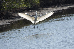 Great egret landing with wings outspread at Merritt Island, Florida. royalty free stock images