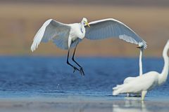 The Great Egret lands on the blue water next to other birds. And close to them stock photo