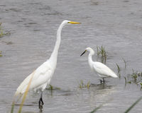 Great Egret and Little Egret Stock Photo
