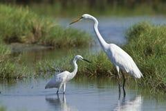 Great egret and little egret in Potuvil, Sri Lanka Royalty Free Stock Image