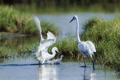 Great egret and little egret in Potuvil, Sri Lanka Stock Photography