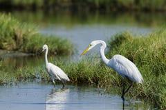 Great egret and little egret in Potuvil, Sri Lanka Royalty Free Stock Photo