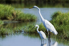 Great egret and little egret in Potuvil, Sri Lanka Royalty Free Stock Images