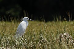 Great egret in long grass Stock Images