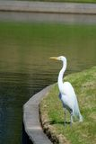 Great Egret Looking for Fish. On a bright, sunny day Stock Photos