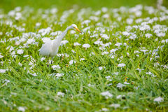 Great Egret looking for food in flower sea. Which is full of white flowers and green grass Royalty Free Stock Photos