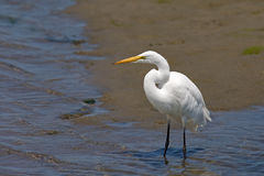 Great Egret Looking Out Into The Marsh Stock Photo