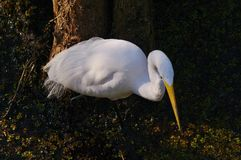Great egret Royalty Free Stock Images