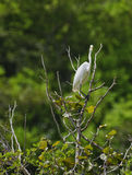 Great Egret on the lookout Stock Photo