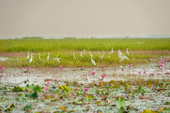 Great Egret and lotus flower Stock Photography
