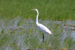 Great Egret in the marsh. A Great Egret (Alba Ardea) wading in the marsh Royalty Free Stock Image